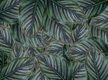 Concept green leaf calathea majestica with rain drops. stock illustration
