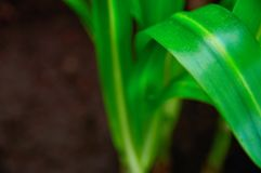 Concept growth and freshness. Long extended green plant leaves bright green on dark background close-up. Selective focus. Concept growth and freshness. Long stock images