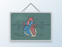 Concept of health and medical with human heart. Stock Image