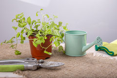The concept of hobby gardening. Young seedlings of flowers with garden tools on a white wooden table. lLobelia. The concept of hobby gardening Stock Photo