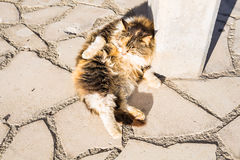 Concept of homeless animals - Stray dirty sadness cat on the street.  Royalty Free Stock Photo