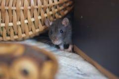 Concept Honger De rat wil eten De muis bekijkt het voedsel stock foto
