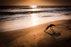 Concept idea of dog yoga. Dog in yoga position Urdhva Mukha Svanasana (Upward Facing Dog) at tropical beach under evening sun. India Stock Photos