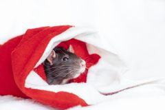 Concept image of symbol chinese happy new year 2020. Christmas rat. Closeup small mouse in santa claus red hat. Lunar horoscope. Sign stock photo