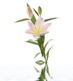concept lilies spa στοκ φωτογραφία