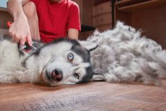 Concept molting pet. Grooming undercoat dog. Boy combs wool from Siberian husky royalty free stock photography