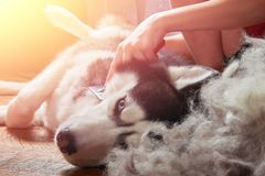 Concept moulting dogs. Owner comb wool with Siberian husky. Husky dog lies on wooden floor lifting hind paw. Concept moulting dogs. Owner comb wool with stock photos
