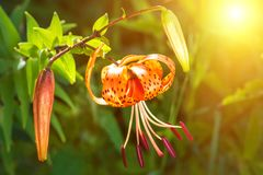 The concept of mourning. Orange lily flowers on a sunrise background. We remember, we mourn. Selective focus, close-up, side view royalty free stock photo
