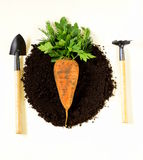 Concept of natural and organic foods. Carrots and greens on the ground Royalty Free Stock Images