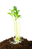 Concept of new life. Seedlings illustrating the concept of new life stock image