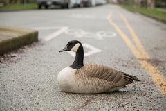 Concept over confidence goose sitting bicycle lane Royalty Free Stock Images
