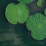 Concept paisible et calme Composition des feuilles vertes de lotus dedans Image libre de droits