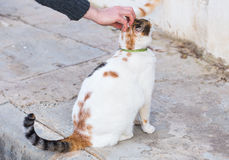 Concept of pets - Orange and white tabby cat with collar outdoor.  Stock Photos