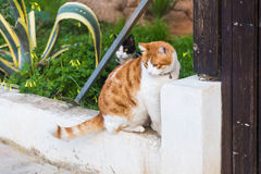 Concept of pets - Orange and white tabby cat with collar outdoor.  Royalty Free Stock Photos