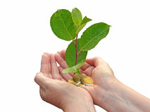 Future investment trust. Concept photo of future investment trust showing young tree and gold coins in the palm of hands Royalty Free Stock Photography