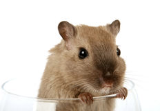 Concept photo of a pet rodent in a wine glass Stock Photo