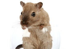 Concept photo of a pet rodent in a wine glass Stock Image
