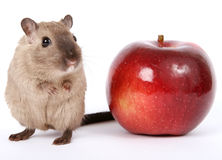 Concept photo of a rodent by healthy red apple Royalty Free Stock Photos