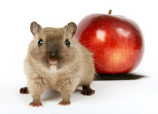 Concept photo of a rodent by healthy red apple Stock Images