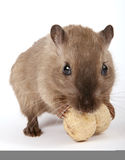 Concept photo of a rodent by a yellow peanut royalty free stock image
