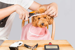 Concept of poodle dog fur being cut and groomed in salon Stock Images