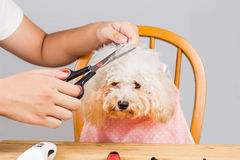 Concept of poodle dog fur being cut and groomed in salon Royalty Free Stock Photography