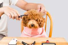 Concept of poodle dog fur being cut and groomed in salon Royalty Free Stock Photos
