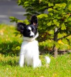 Cute white and black dog posing on the green grass near the young spruce. A small puppy sits with raised ears on the street. royalty free stock photo