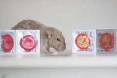 The concept of protection from pregnancy. Mouse with condoms. Rat on the background of contraceptives stock photography