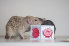 The concept of safe sex. Rats with condoms. Mice with contraceptives. Rodents hugging royalty free stock photography