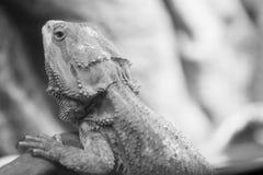 Concept sauvage de la vie et de reptiles Les repos d'iguane sur la branche, se ferment  Dragon barbu Photo stock