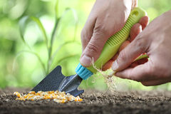 Concept of seeding, hands with tool and seedling, corn seeds on Stock Photos