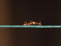 Concept of sharing and social life. Two ants sharing food on a rope. Concept of friendship and togetherness Royalty Free Stock Image