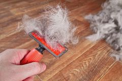 Concept spring annual molt dog. Hand hold red rakers brush with wool pet. Close-up. royalty free stock photography