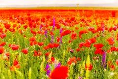 Concept spring flower. Poppy field background. Season landscape stock photos