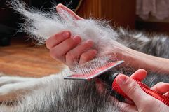 Concept spring moulting dog. Boy holds in hands lump wool Siberian husky and rakers brush. Closeup. royalty free stock photo