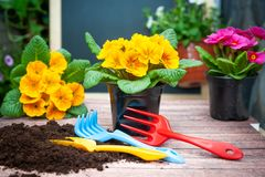 Concept Spring planting on the garden or balcony, harmony and beauty. Flowers Primula red and yellow. And garden tools royalty free stock photos