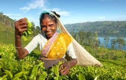 Concept sri-lankais indigène de récolteuse de thé image stock