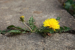 Concept strength dandelion Royalty Free Stock Image