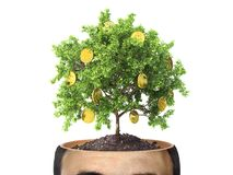 Concept of striving for wealth and greed. Concept of striving for wealth. Money tree in the cut of head on the white background. Greed stock photo