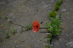 Concept of struggle for new life.Closeup of strong red poppy growing from the concrete stock photo