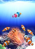 Flock of standard clownfish and one colorful fish royalty free stock image