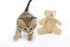 Concept of toy. Live kitten and plush teddy bear Stock Photography