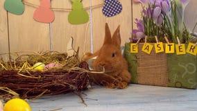 Concept traditionnel de symbole de lapin de célébration pelucheuse de Pâques se trouvant près du nid clips vidéos