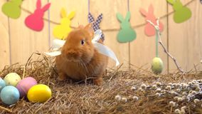 Concept traditionnel de symbole de lapin de célébration pelucheuse de Pâques sur le foin allant vers l'appareil-photo clips vidéos
