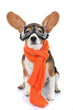 Concept for travel or vacation pet aviator Stock Photos