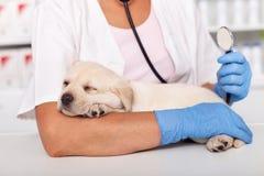 Concept vétérinaire de soins de santé avec des mains de professinal tenant le chiot mignon et un stéthoscope photos libres de droits