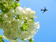 The concept of hollyday in the spring. The plane takes off in the blue sky on the background of white Apple flowers. royalty free stock photo