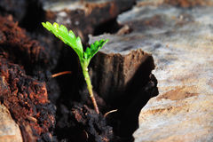 Concept vert de plante de durée neuve au-dessus de vieil arbre Image libre de droits