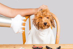 Concept of wet poodle dog fur being blown dry and groom after shower at salon Royalty Free Stock Images